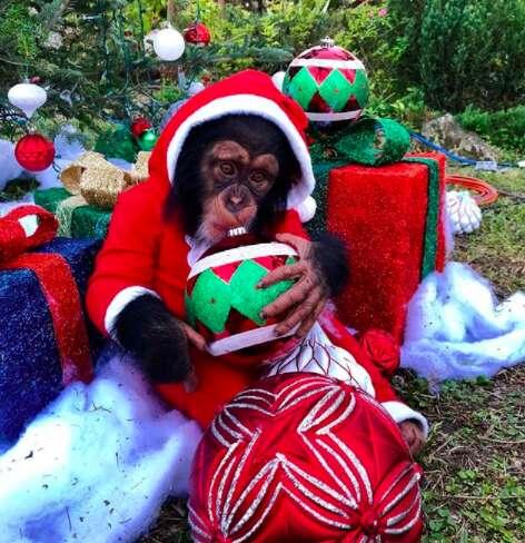 baby chimp christmas zoo