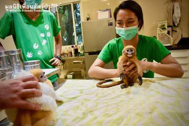 Baby dusky leaf monkey at rescue center in Thailand