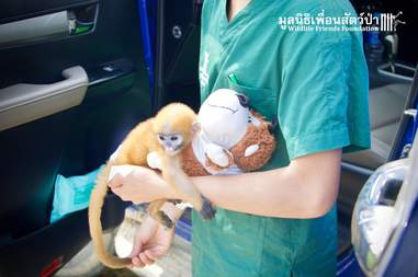 Baby dusky leaf monkey saved from being child's pet in Thailand