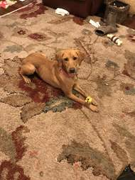 Dog playing with toys on the carpet