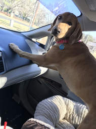 Dog leaning on dash board in car