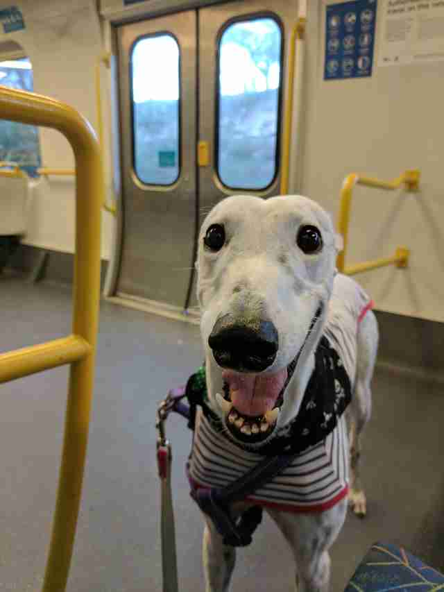 Salty the greyhound rides the train