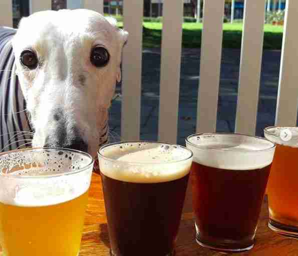 Salty the greyhound at bar