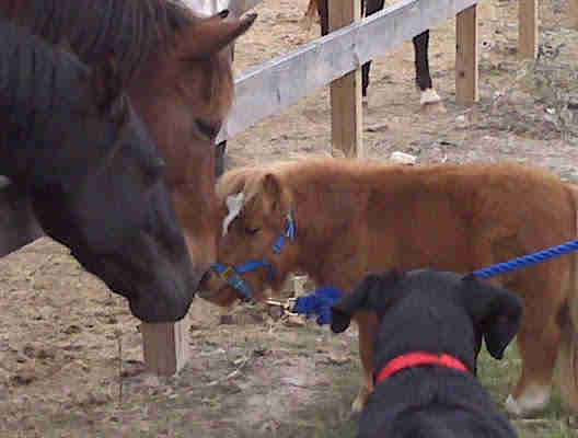 Miniature horse saying hello to larger horses