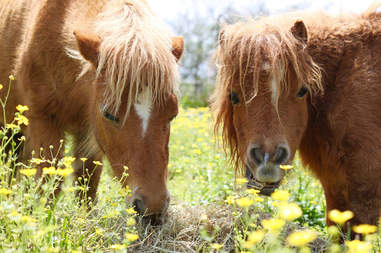Two miniature horses eating grass and flowers