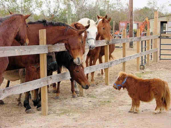 Mini horse with dwarfism staring at larger horses through a fence