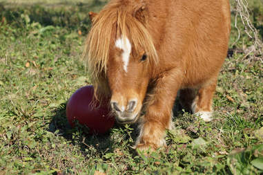 Mini horse playing with ball