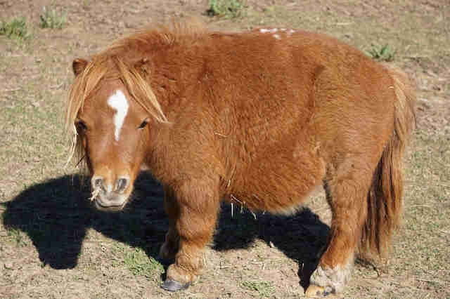Closeup photo of mini horse
