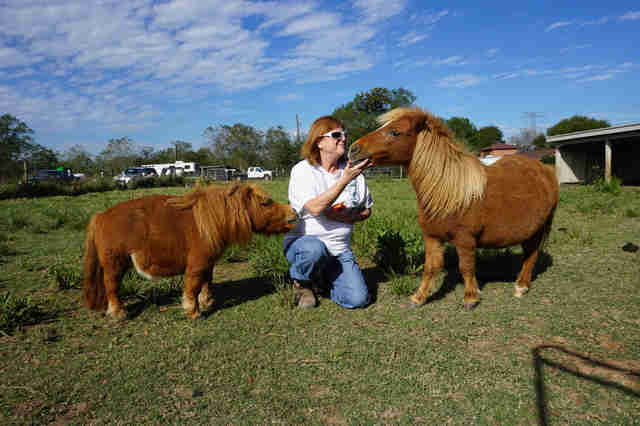 Woman feeding two mini-horses in pasture