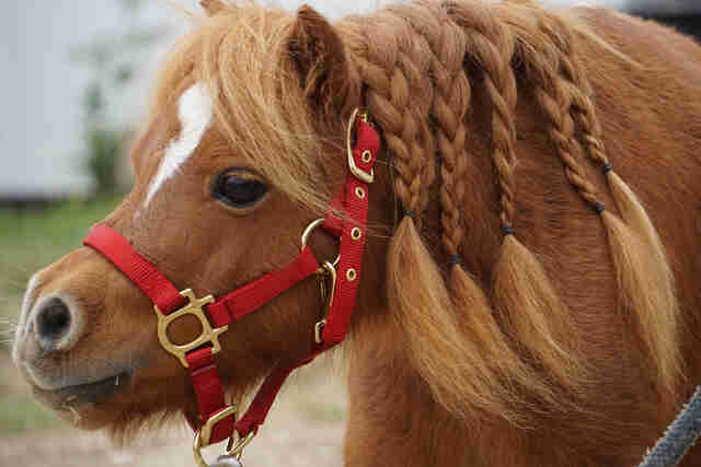 Miniature horse with hair braided
