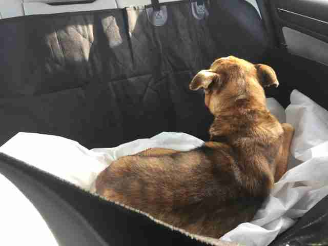 Stray dog in couple's car on way to shelter