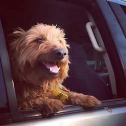 Rusty the dog in a car
