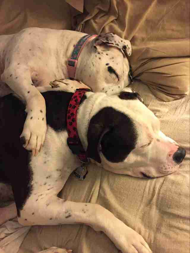 bonnie and clyde bonded pit bulls acct philly