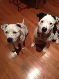 bonded pit bulls acct philly