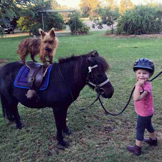 Rusty the Australian terrier rides a horse