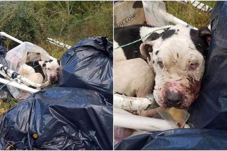 pit bull dog abandoned dumpster philadelphia
