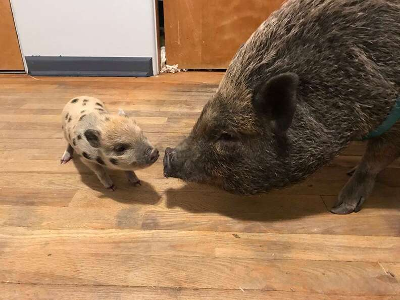 Potbellied pig touching noses with tiny piglet