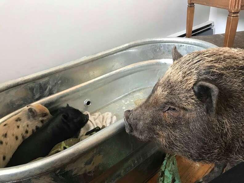 Big potbellied pig gazing at tiny piglets