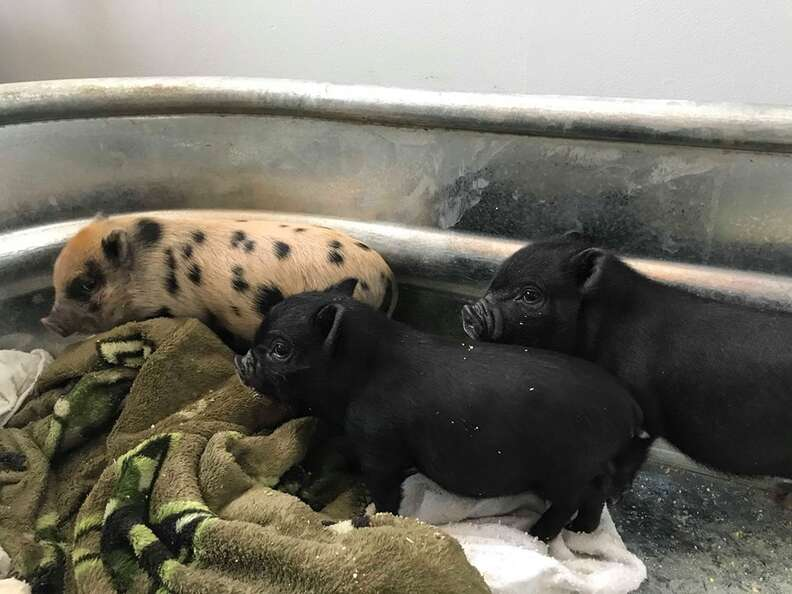 Rescued piglets inside trough