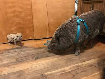 Tiny piglet standing in front of larger pig