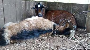 goat stays by his dead best friend