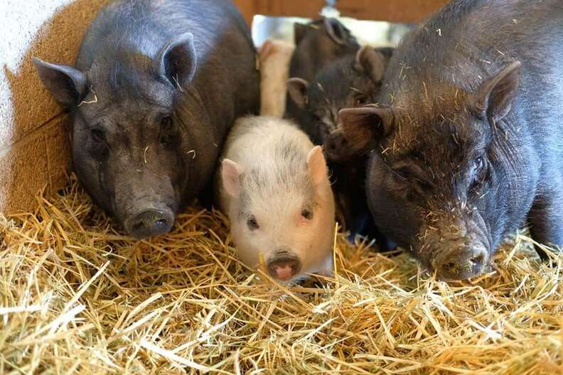 Rescued pig lying on straw bed