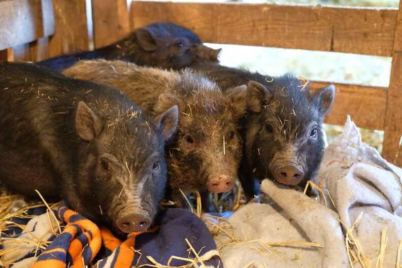 Rescued pig lying on straw and blankets