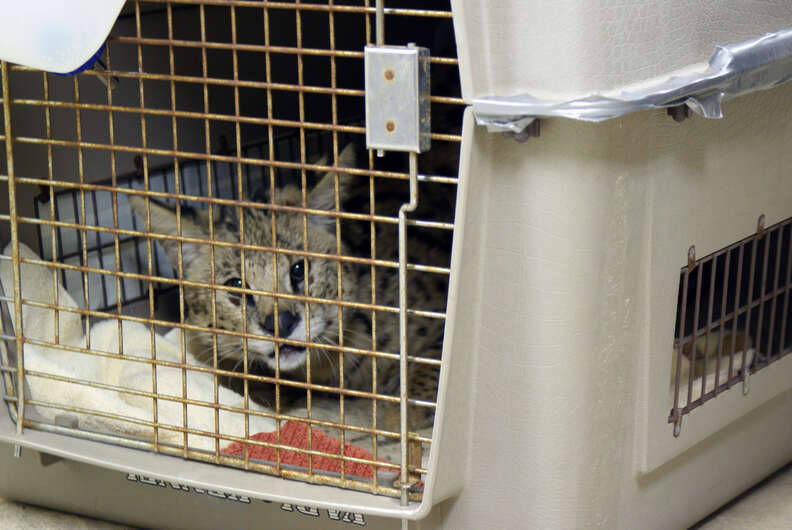 Pet serval dumped on doorstep in dog crate