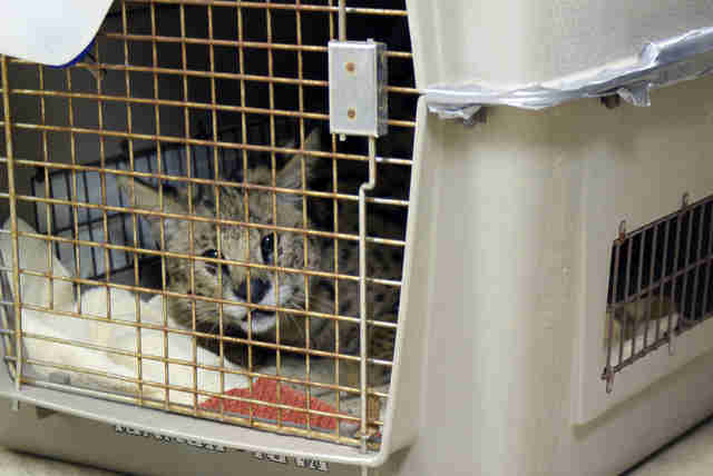Pet serval dumped on doorstep in dog crate