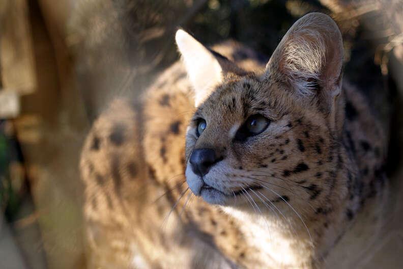Rescued serval cat