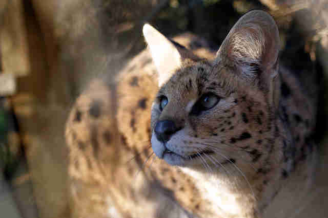 Rescued serval cat
