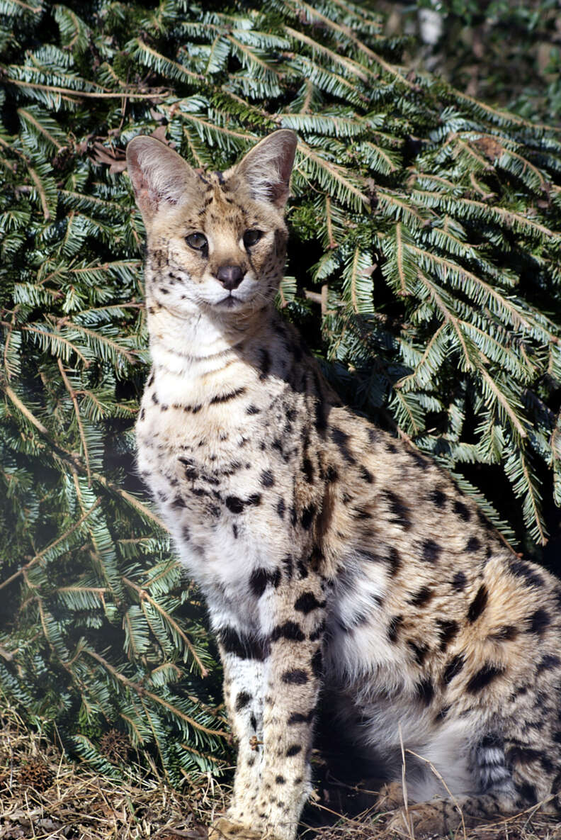 Rescued serval at sanctuary