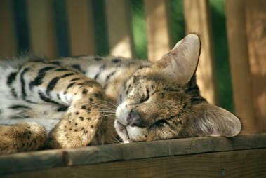 Serval saved from being someone's pet