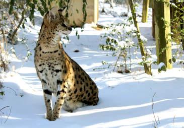 Serval at North Carolina sanctuary