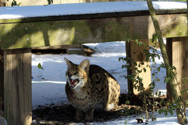 Serval at sanctuary after rescue