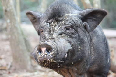 Rescue pig at sanctuary in Spain