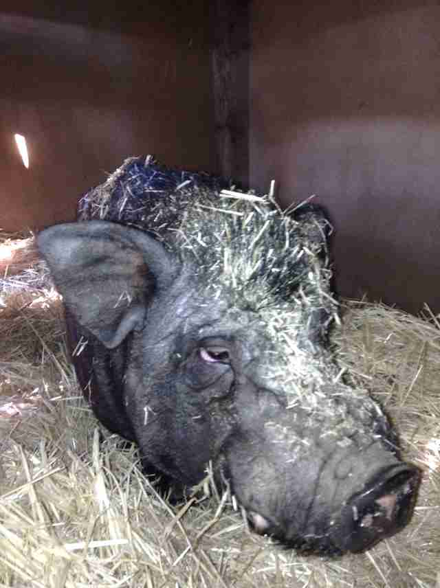 Neglected pig being rescued