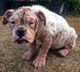 bald bulldog puppy california stray