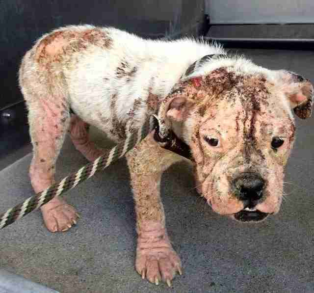bulldog mange california stray