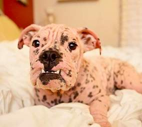 mange bulldog hairless