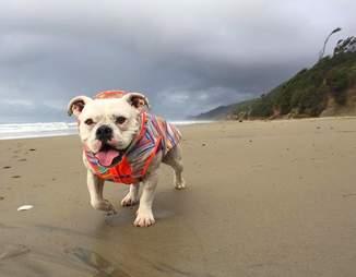 rescue bulldog lilou oregon