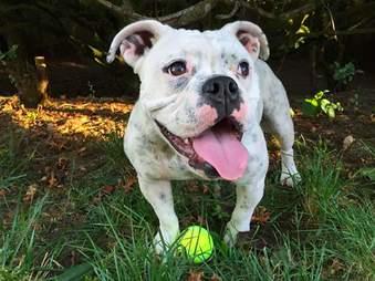 rescue bulldog lilou