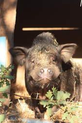 Rescued pig in Spain