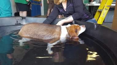 rescue beagle obese new york