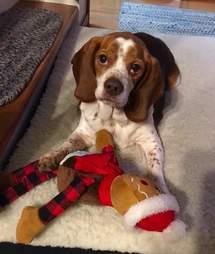 obese rescue beagle new york