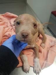 pit bull puppy abuse kansas jonah