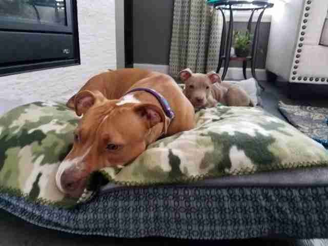 pit bull neglect kansas