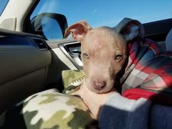 abused pit bull puppy kansas