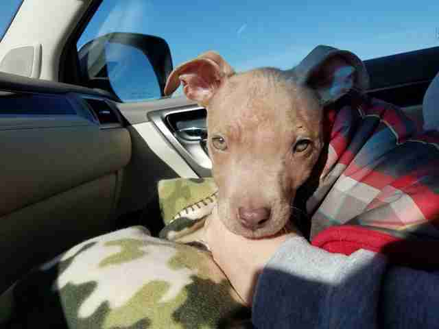 abused pit bull puppy kansas