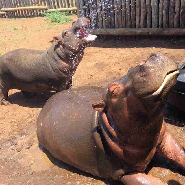 Rescued hippos sharing enclosure